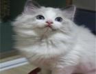 纯种波布偶猫出售 品质好 疫苗驱虫已做 健康保质
