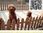 哪里出售贵宾犬 纯种贵宾多少钱