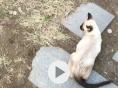 出售四个月能溜的暹罗猫