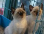 多年专业繁殖品质保证全国实价 纯血统暹罗猫聪明健康