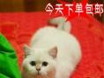 猫舍火爆直销纯种英国短毛猫/英短蓝猫当天包邮
