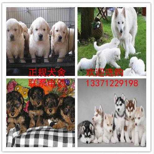 正规犬舍直销国际名犬 包纯 包邮 包健康