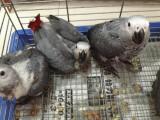 金剛鸚鵡 灰鸚鵡 葵花鸚鵡 亞馬遜鸚鵡 大緋胸鸚鵡 折衷鸚鵡