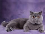 河北石家庄双血统英短蓝猫出售