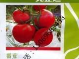 先正达原装齐达利番茄种子种苗倍盈 瑞菲