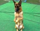 力泓警犬培训基地 汕头宠物服务 恶霸比特斯坦福