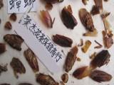蟑螂粉 偷油婆粉 美洲大蠊粉 代加工草药粉