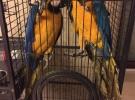蓝黄,大型鹦鹉