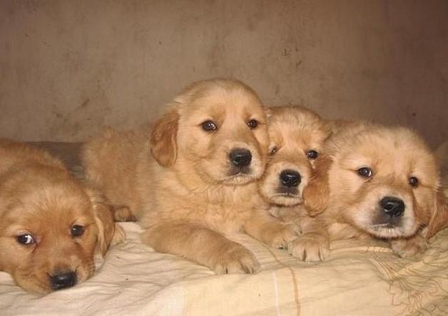 福州本地犬舍出售精品金毛犬包纯包健康一年包换