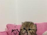 猫舍出售纯白金吉拉 长相甜美 包纯种健康