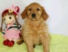 北京出售 金毛幼犬 純種健康保障 疫苗驅蟲已做 簽協議包售后