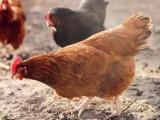 保定大午金凤青年鸡成本价出售2021年大午金凤青年鸡成本