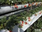 新鲜草莓采摘