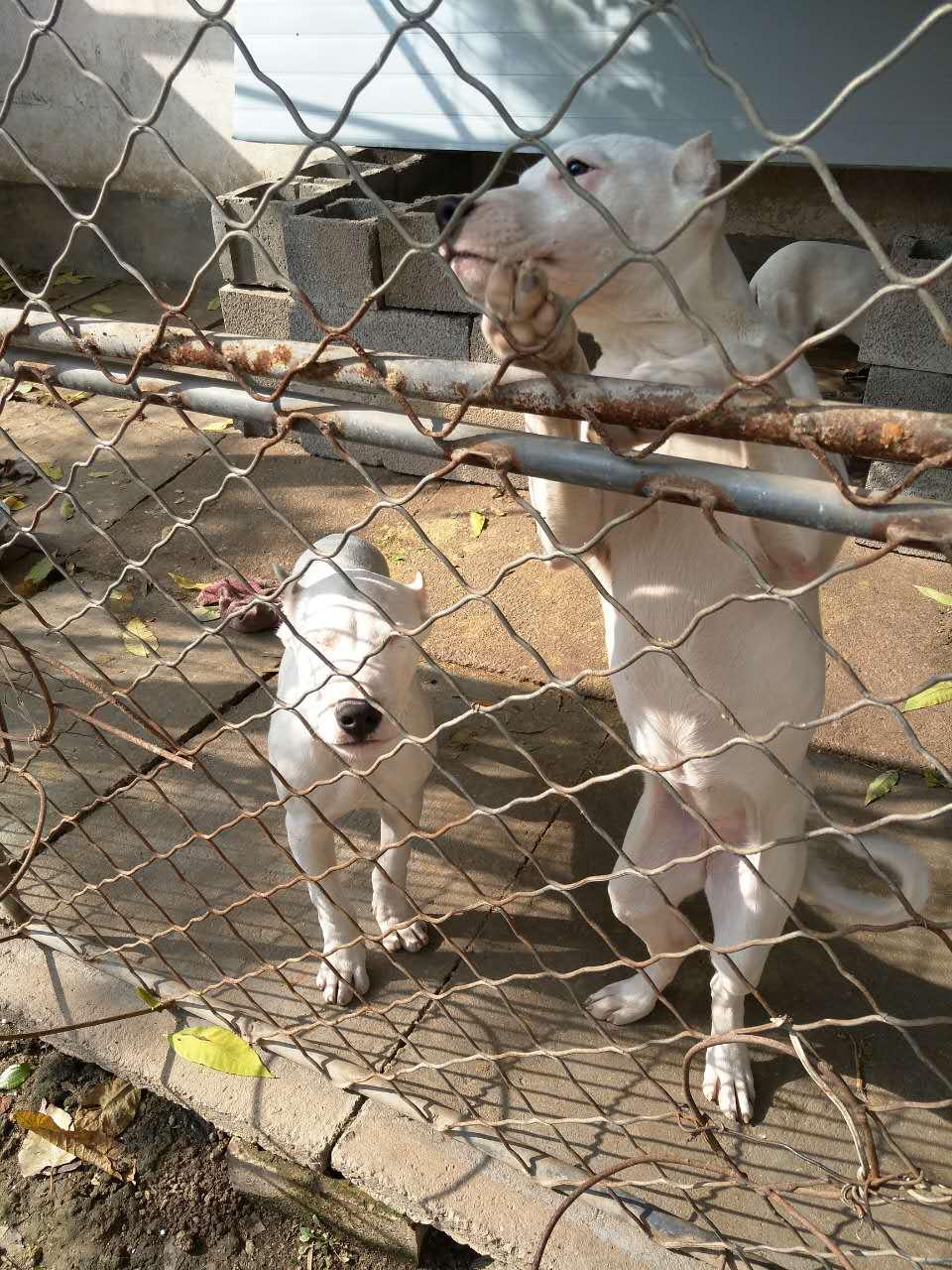 大头版双血统杜高犬,带出生纸,野猪天敌,支持货到付款