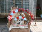 本地出售纯种日系秋田幼犬 售后无忧 可上门挑选
