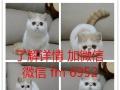 家庭式繁育纯种英短美短苏格兰折耳猫乳色加白三花母蓝猫