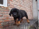 出售纯种幼犬罗威纳 可上门亲自挑选,,多只可选择,品种多
