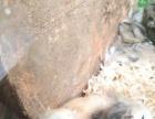 自家仓鼠繁殖小崽