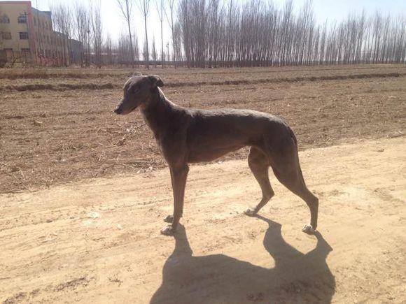 银川哪里有出售格力猎兔犬的 全活猎兔犬价格鸿顺犬舍