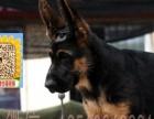 实体狗场——签协议保三年—德牧犬——随时可微信视频