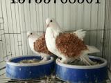 菏泽出售自家养的观赏鸽肉鸽元宝鸽