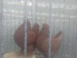 出售精品观赏鸽,大元宝鸽,全国包邮