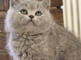 自家猫舍出售加菲猫 英短等品种齐全同城可送货上门