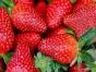 春风家庭农场提供草莓采摘、农家菜、拓展、