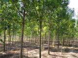 种植皂角树基地在 出售
