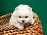 绵阳 纯种博美幼犬 疫苗齐全出售中 可签协议健康保障
