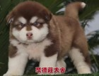 深圳聚德庄犬舍 只为国内繁殖优秀的宠物狗宝宝 阿拉斯加