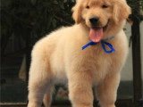 北京通州純種英系金毛幼犬價格多少