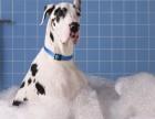 专业繁殖大丹犬宝宝质保三年签署质保协议可送货上门选