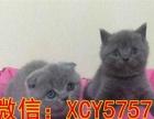 英国短毛猫 英短纯蓝色弟弟 3个月
