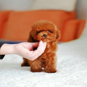 泰迪犬 泰迪狗多少钱 茶杯泰迪价格 泰迪犬图片 玩具泰迪熊图片