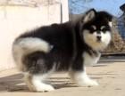 出售巨型犬阿拉斯加雪橇犬幼犬 大骨骼毛量充足