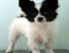 蝴蝶犬一只多少钱 哪里有卖蝴蝶犬的