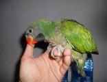转让小太阳 绯胸鹦鹉 凯克鹦鹉 吸蜜鹦鹉 玄凤鹦鹉 会说话