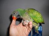 转让会说话的绯胸鹦鹉 凯克 葵花 金刚 和尚 金太阳品种多
