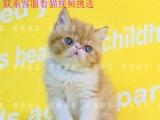 加菲猫活体猫咪纯种宠物猫咪异国短毛猫可爱粘人包送