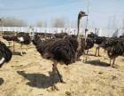 黑天鹅的价格,鸵鸟苗孔雀苗哪里有鳄鱼苗出售