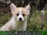 纯种柯基犬,可见狗狗父母,广东免费送货上门