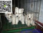 梅州哪里有卖西高地犬 梅州西高地犬多少钱 梅州西高地犬图片