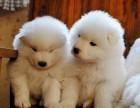 出售宠物 金毛犬 拉布拉多犬 泰迪犬 柯基犬 全国发货