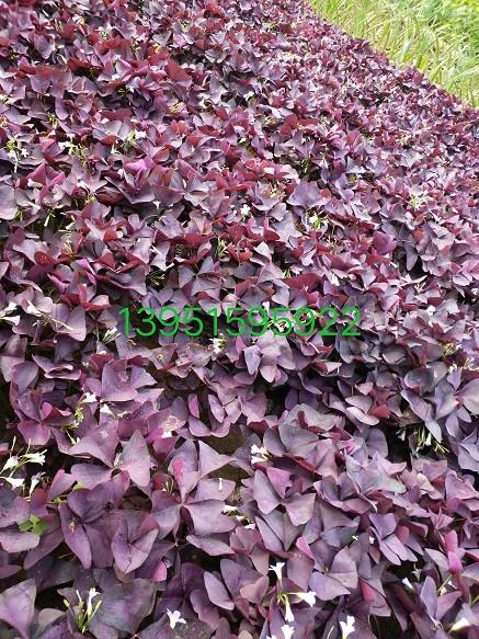 酢浆草紫.JPG