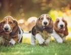 哪里有卖巴吉度猎犬巴吉度多少钱巴吉度图片巴吉度幼犬
