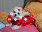 活泼聪明的比熊宝宝出售自家繁殖确保品质健康协议保证