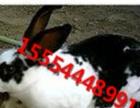 新西兰兔 法系獭兔 獭兔 野兔 八点黑兔
