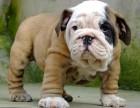 大型犬舍繁殖高品质法国斗牛犬健康有保证欢迎上门