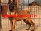 精品马犬繁育基地 出售精品血统马犬幼犬,价格优惠